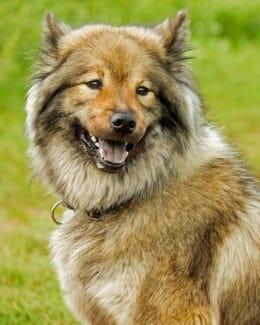 Hund Eurasians Portrait Tierpuls 2735337