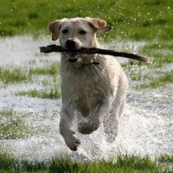 Hund Labrador Spielt Mit Stock Tierpuls 2640633
