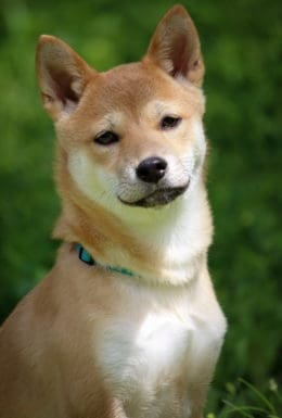 Hund Stolz Devot Pinkeln Portrait 4244548