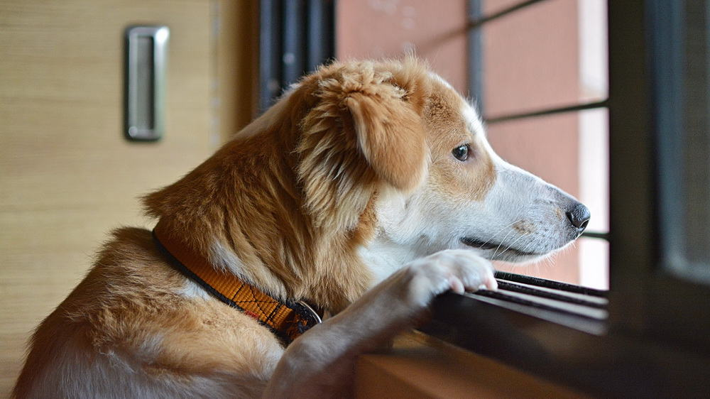 Hunde – Angst vor dem Alleine sein