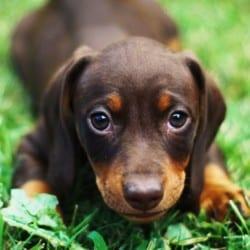 Hund uriniert und zeigt devotes Verhalten