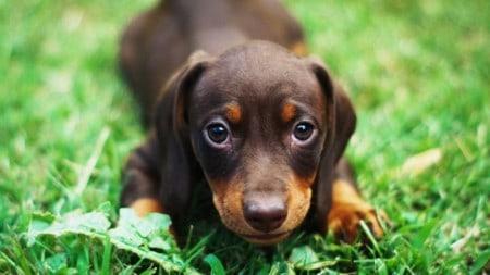Hund Welpe Urinieren Devot Lernen Tierpuls 4159596