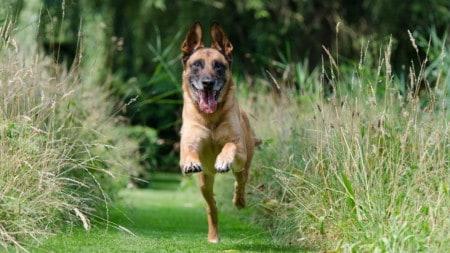 Hund Wird Abgerufen Schaeferhund Tierpuls 662784