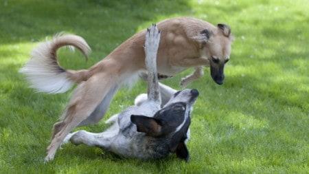 Hunde Spielen Harter Kopf Tierpuls 835679