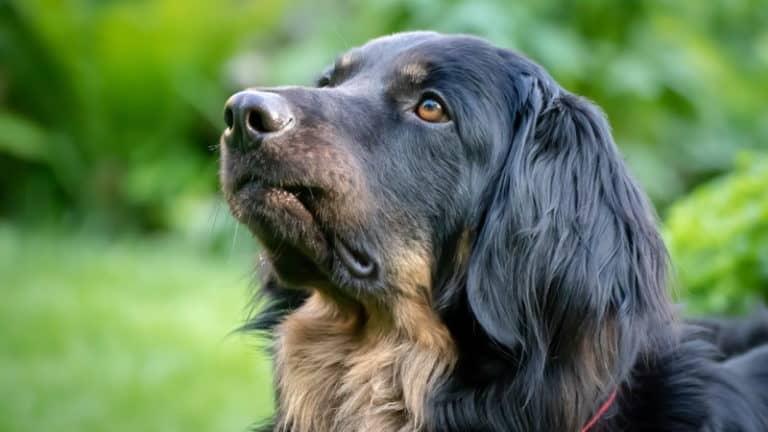 Hunde-Demenz – Was hilft dem treuen Vierbeiner?