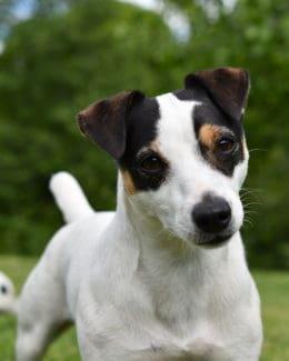 Jack Russel Hund Spielen Tierpuls958212