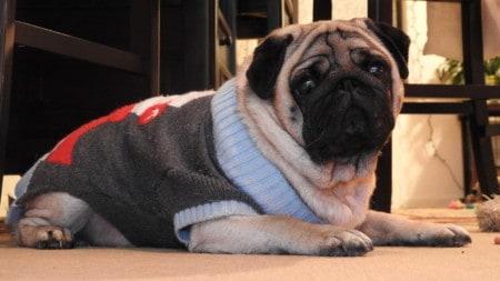 Mops Hund Pullover Tierpuls 1937612