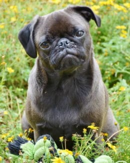 Portraitaufnahme Hund Welpe Tierpuls 3654358