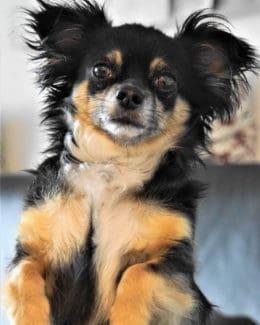 Tierpuls Hund Aufmerksam Chihuahua 4240799