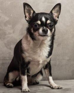 Tierpuls Hund Chihauha 4260545