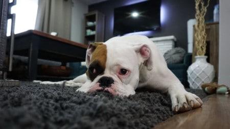 Tierpuls Hund Furz Blähungen Boxer 1562522