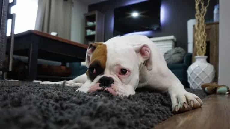 Hundeblähungen – Unscheinbarer Furz des Lieblings
