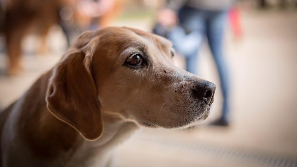 Beagle Betteln Hund Futter