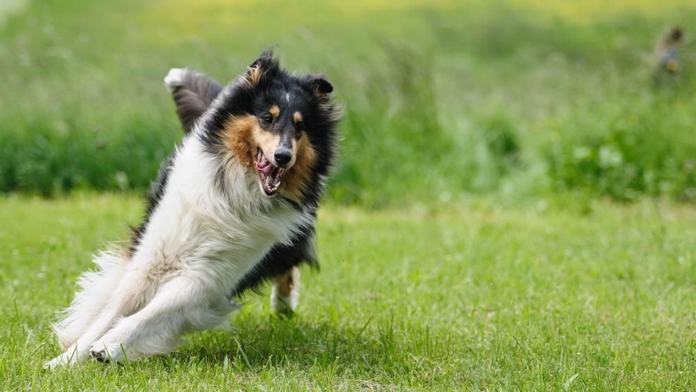 Collie Laufen Spielen Hunde Freilauf Tierpuls 818064