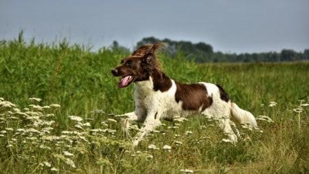 Muensterlaender Hund Laufen Tierpuls 4357992
