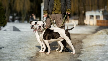 American Bulldog Hunderasse Portrait1 Tierpuls