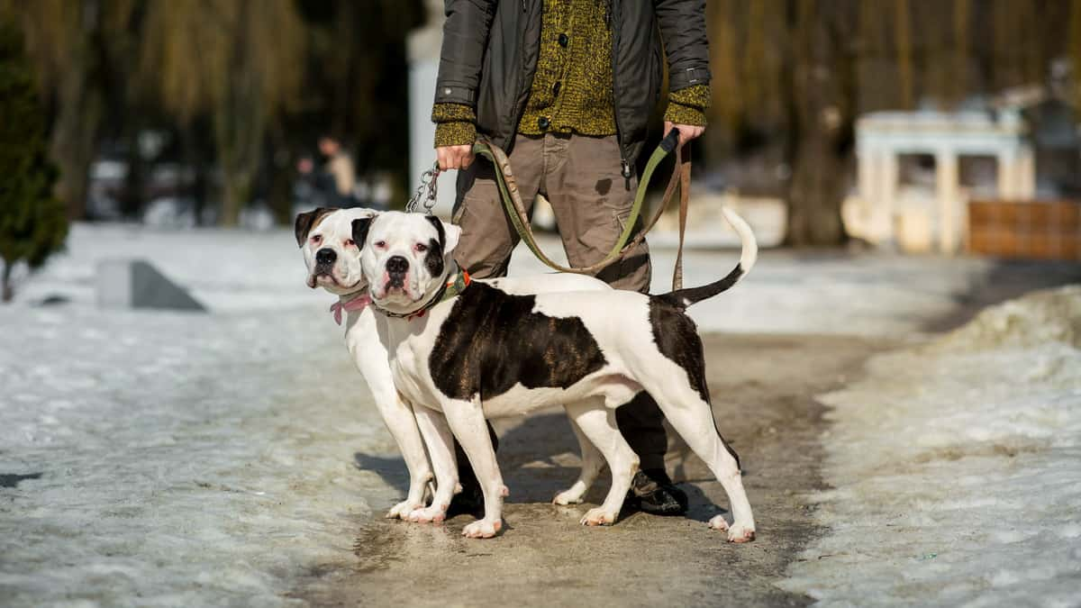 Read more about the article American Bulldog