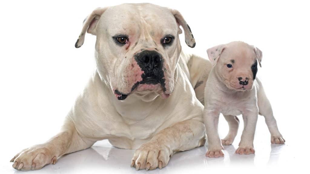 American Bulldog Hunderasse Portrait2 Tierpuls