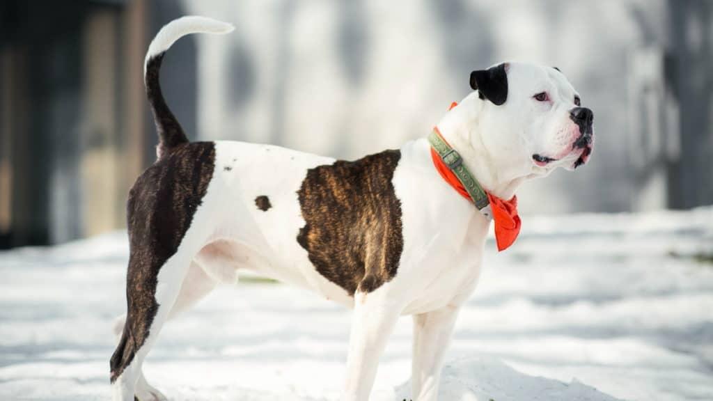 American Bulldog Hunderasse Portrait3 Tierpuls