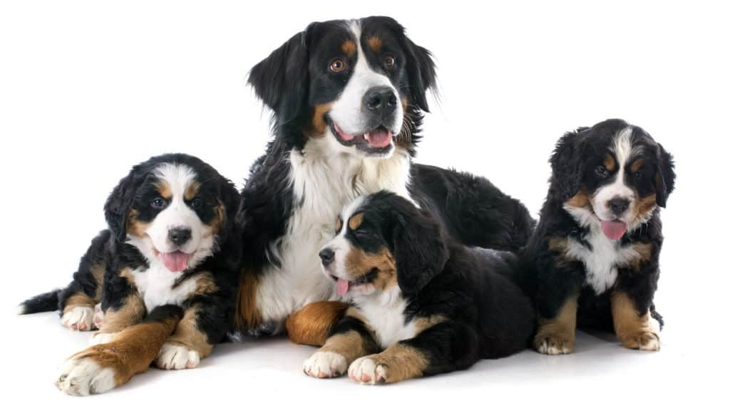 Berner Sennenhund Hunderasse Portrait Mit Welpen Tierpuls