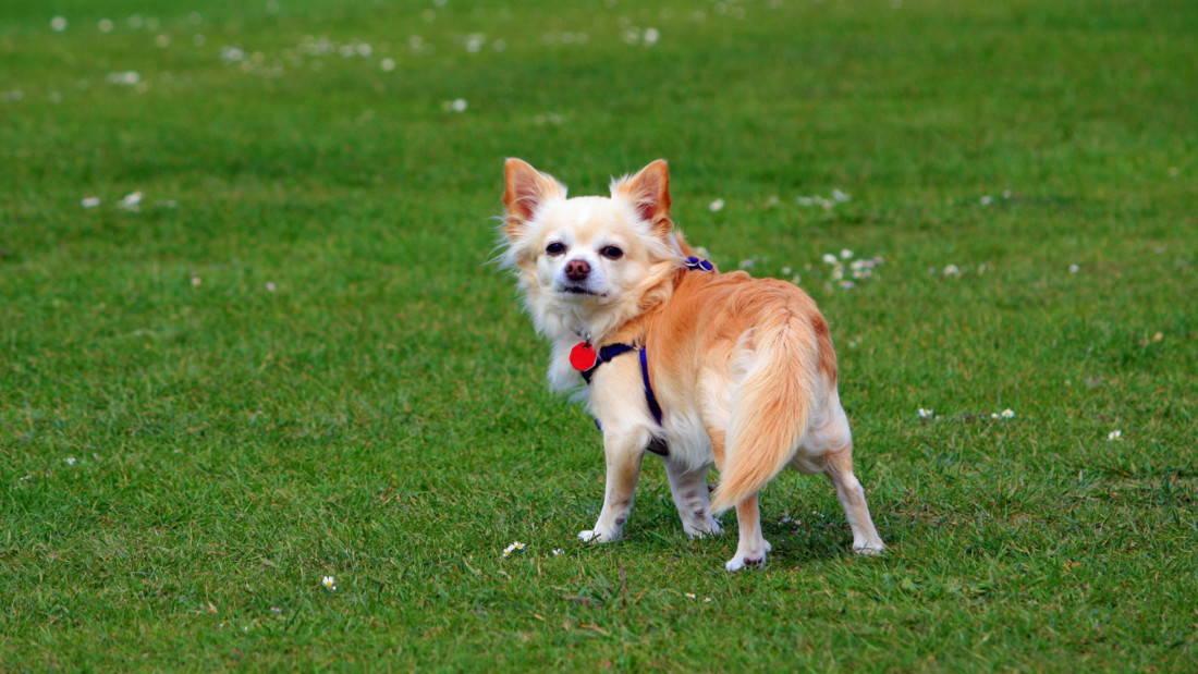 Chihuahua Hunderasse Hund Auf Wiese Tierpuls