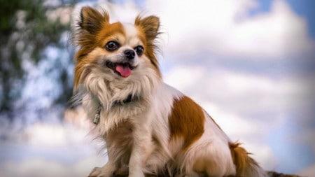 Chihuahua Hunderasse Posing Auf Baum Tierpuls