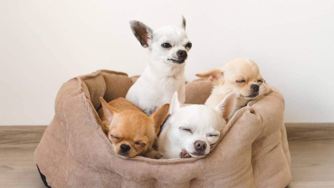 Chihuahua Hunderasse Vier Hunde Schlafen Tierpuls