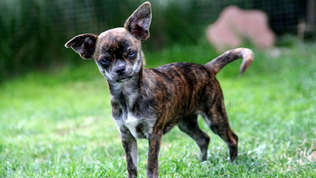 Chihuahua Hunderasse Welpe Gefleckt Mehrfarbig Tierpuls