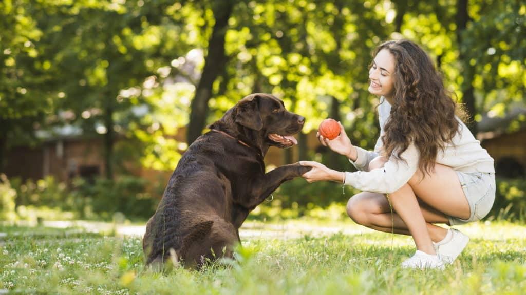 Hunderasse Labrador Spielt Mit Ball Tierpuls 3196279