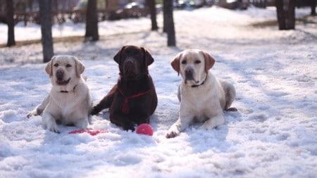 Labradore Winter Hunderasse Tierpuls