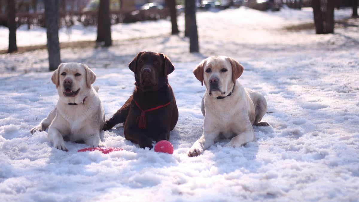 You are currently viewing Labrador Retriever