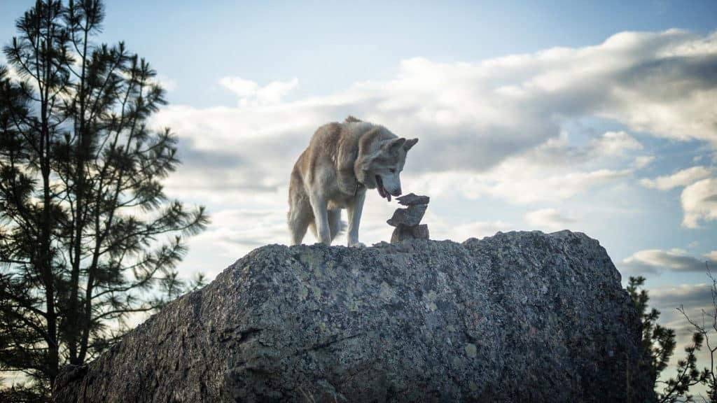 Sibirische Huskys Hunderasse Huskies 1 Tierpuls