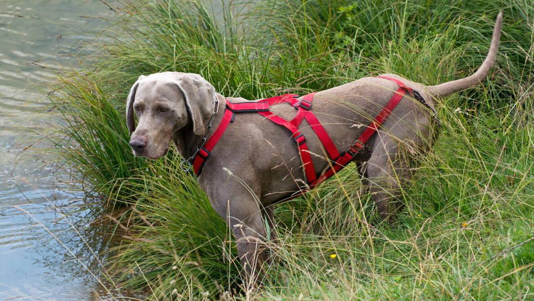 Weimaraner Hunderasse Am Wasser Im Gras Geschirr Tierpuls