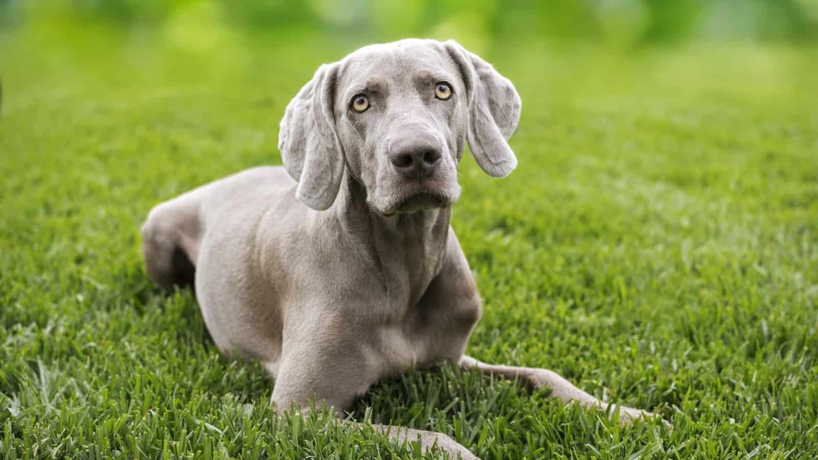 Read more about the article Weimaraner