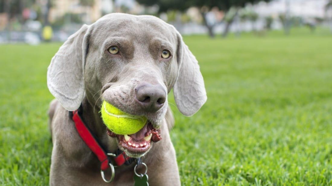 Weimaraner Hunderasse Mit Ball Spielt Gras Tierpuls