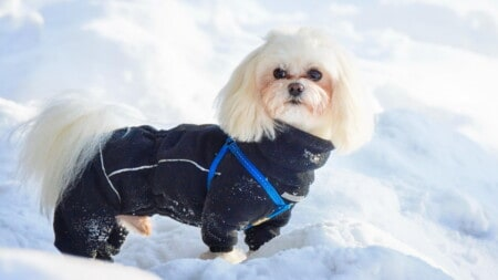Hunderasse Bichon Frise Im Schnee Mit Mantel Tierpuls
