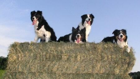 Hunderasse Border Collie 4 Collies Auf Strohballen Tierpuls