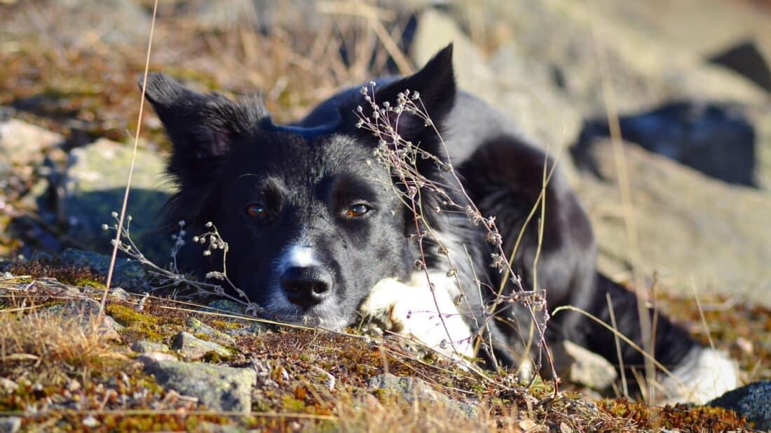 Hunderasse Border Collie Passt Auf Verstecken Tierpuls