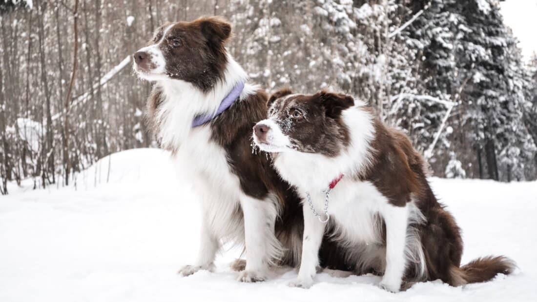 Hunderasse Border Collie Zwei Braune Im Schnee Tierpuls