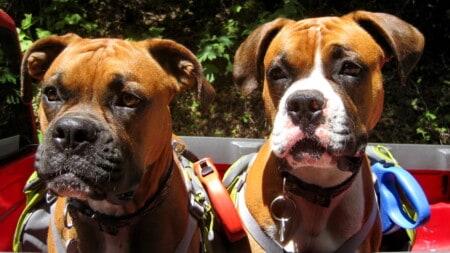 Hunderasse Boxer Zwei Brueder Tierpuls