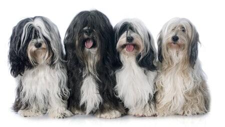 Tibet Terrier Hunderassen 4 Terrier Gruppenfoto Tierpuls