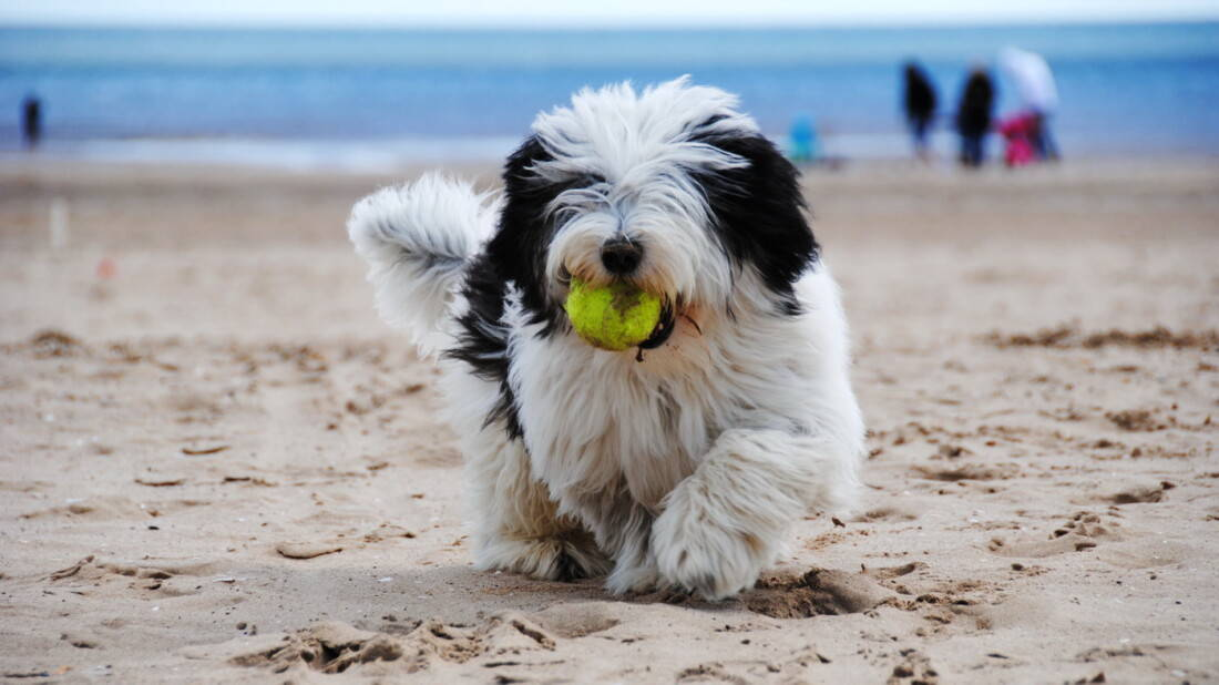Tibet Terrier Hunderassen Am Strand Mit Ball Tierpuls