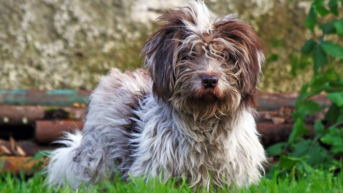 Tibet Terrier Hunderassen Brauner Terrier Im Gras Tierpuls