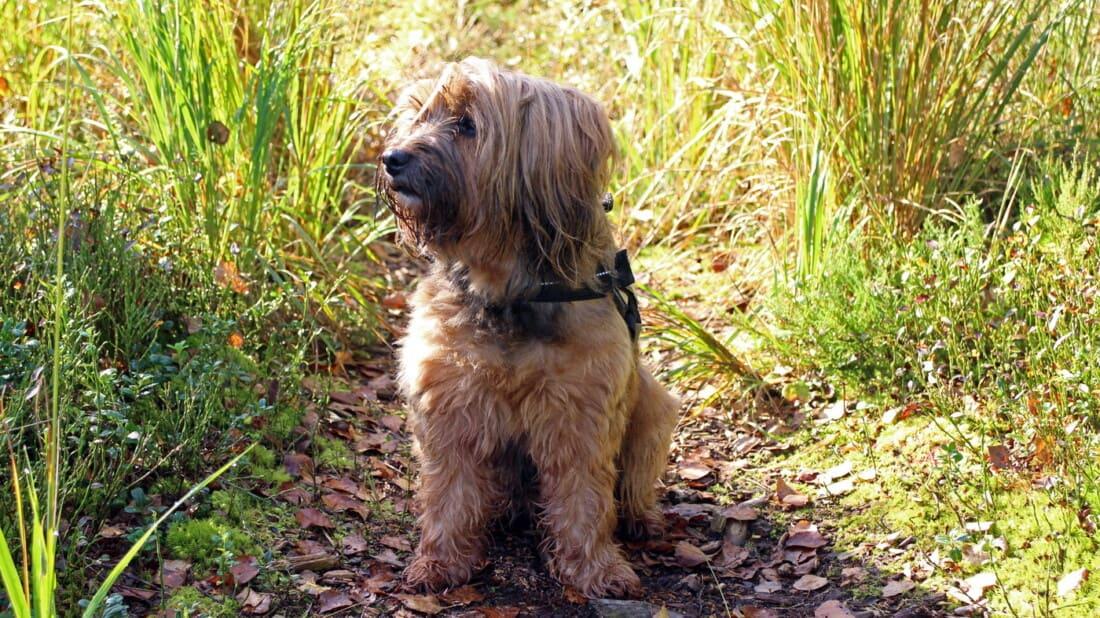 Tibet Terrier Hunderassen Im Gras Tierpuls 1