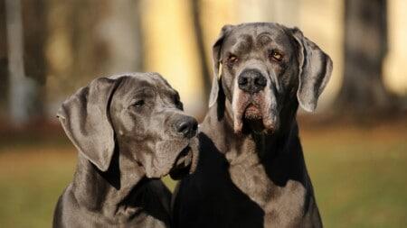 Hunderasse Deutsche Dogge Zwei Doggen Portrait Tierpuls