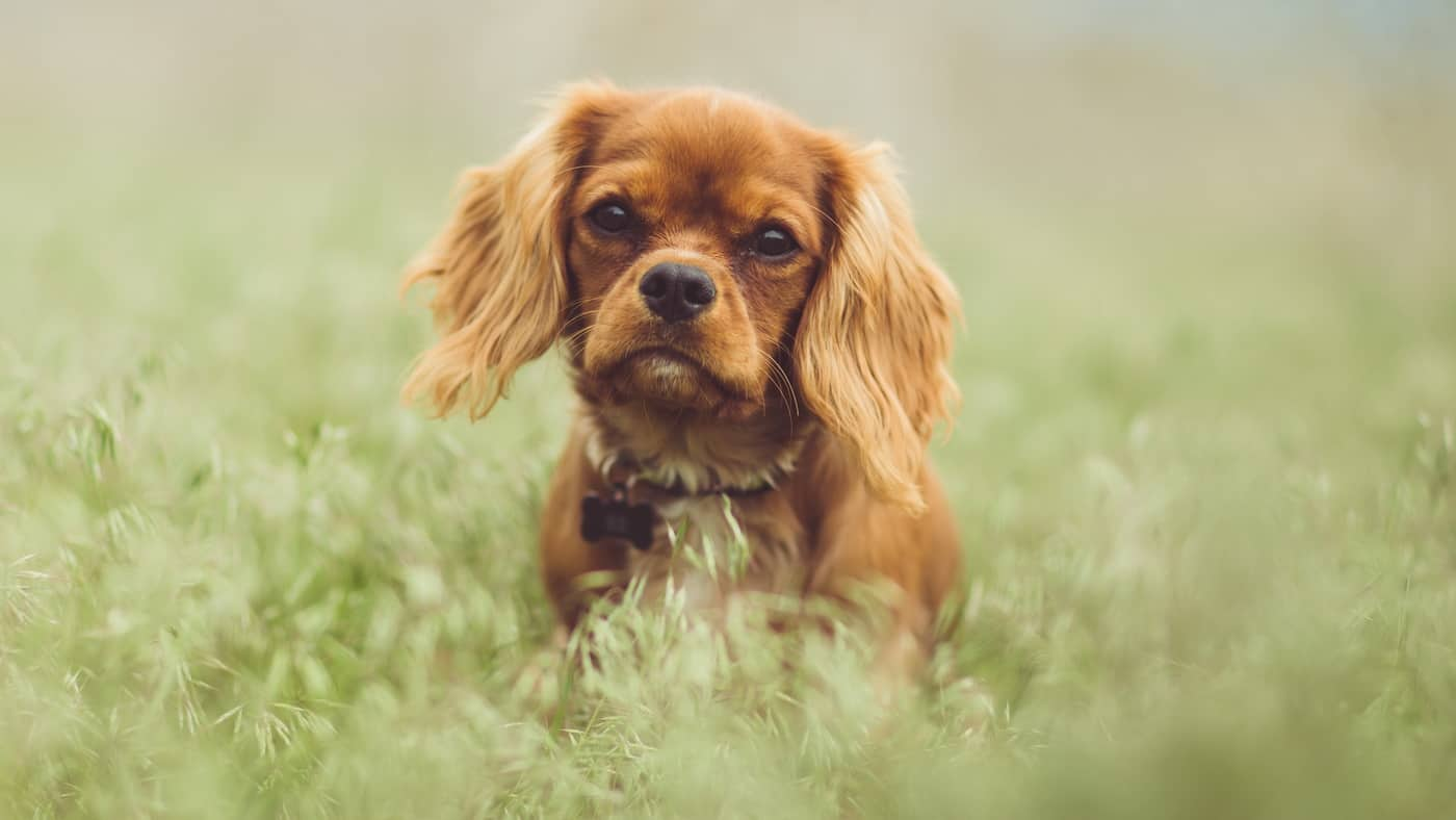 You are currently viewing Cavalier King Charles Spaniel