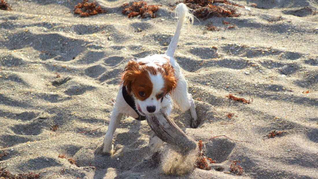 Hunderasse King Charles Spaniel Welpe Am Strand Tierpuls