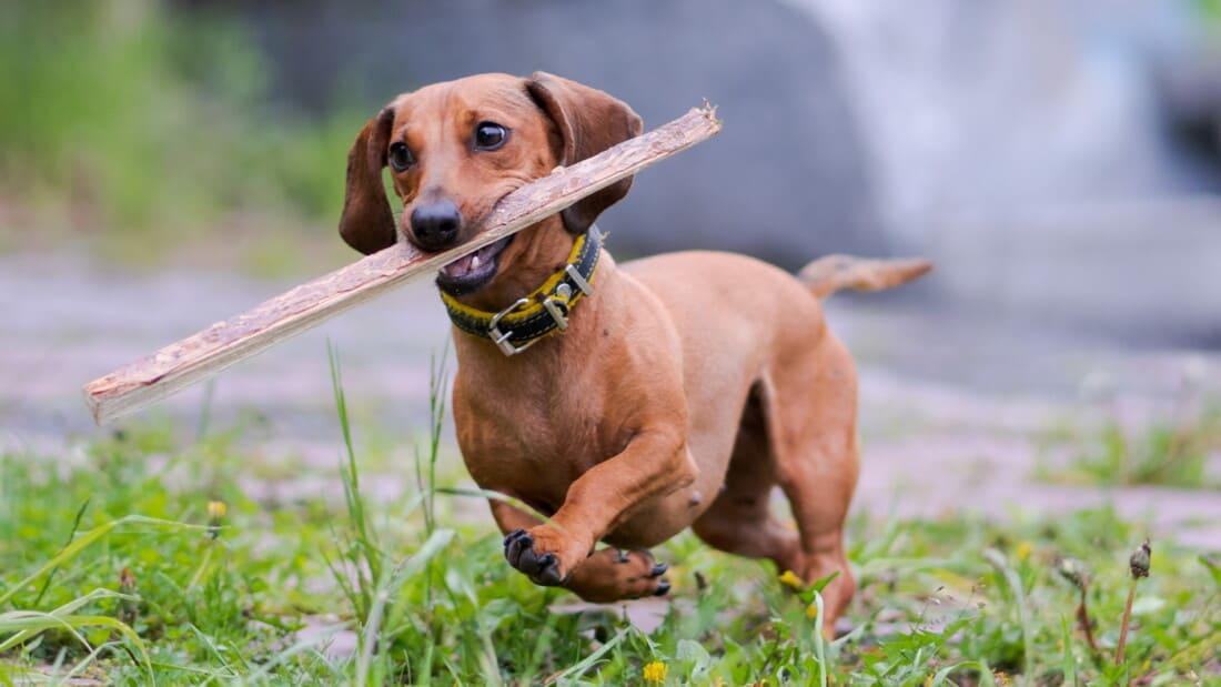 Hunderassen Dackel Dachshund Teckel Braun Mit Stoeckchen Tierpuls