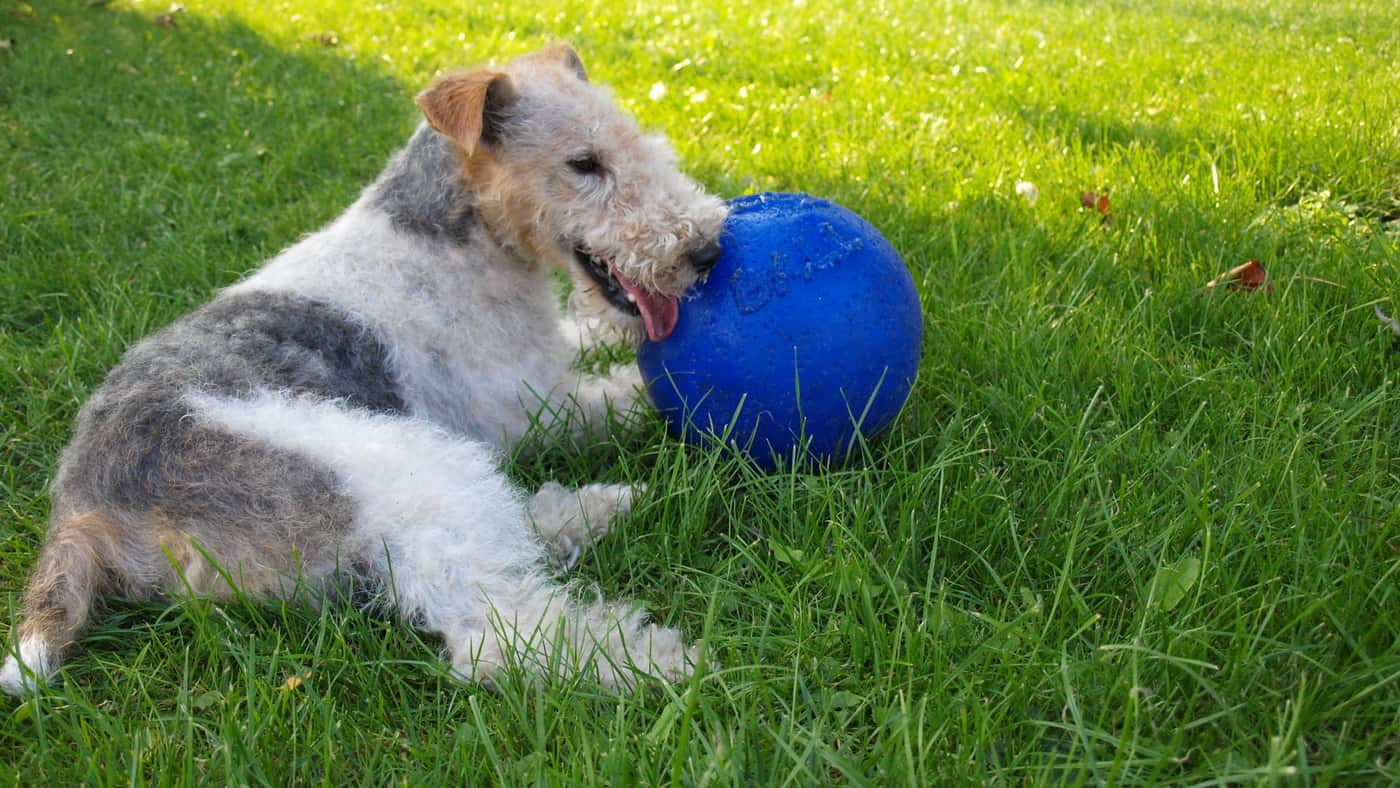 Read more about the article Foxterrier