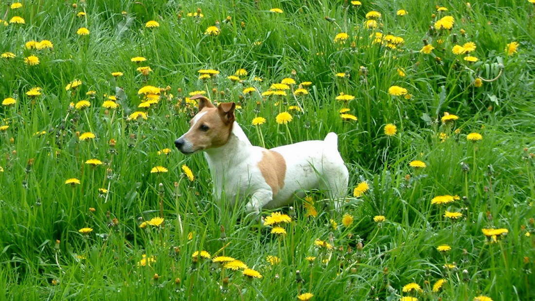 Hunderasse Jack Russell Terrier Bunt Im Gras Tierpuls